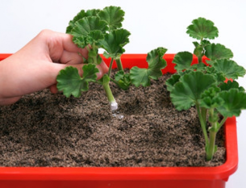 Take pelargonium cuttings